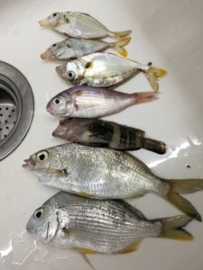 図6. 釣果その2 小さな釘公魚や黄脚立